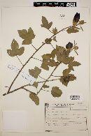 Hibiscus diversifolius image