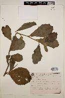 Image of Hibiscus laxiflorus