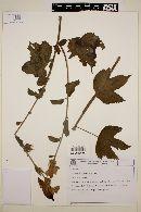 Image of Hibiscus multiformis
