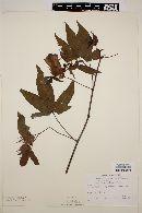 Image of Gossypium palmerii