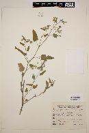 Image of Gaya parviflora