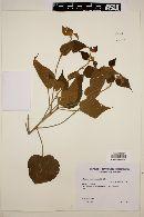 Image of Bakeridesia esculenta