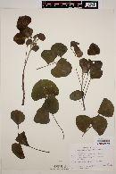 Erythrina flabelliformis image