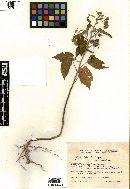 Image of Gaya purpurea