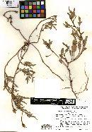 Image of Cienfuegosia saraviae