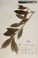 Image of Pavonia makoyana