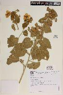 Image of Pavonia platyloba