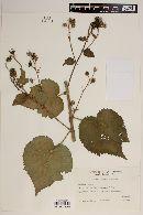 Image of Pavonia restiaria