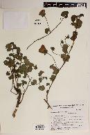 Image of Pavonia subrotunda