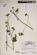 Image of Pavonia varians