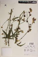 Image of Kosteletzkya tubiflora