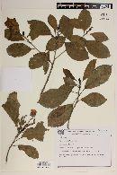 Image of Pavonia alnifolia