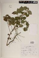 Image of Pavonia argentina