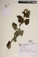 Image of Pavonia aschersoniana