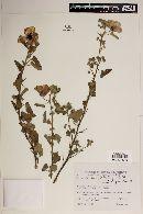 Image of Pavonia aurigloba