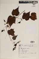 Image of Pavonia hexaphylla