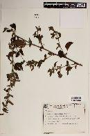 Malvastrum coromandelianum image