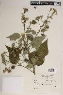 Abutilon grandifolium image