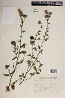 Abutilon pauciflorum image