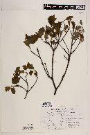 Quercus gravesii image