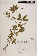 Image of Mimosa sensibilis