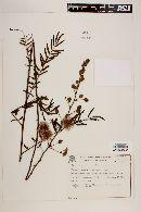 Image of Mimosa setosa