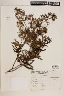 Mimosa taimbensis image