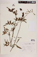 Image of Mimosa vellosiella