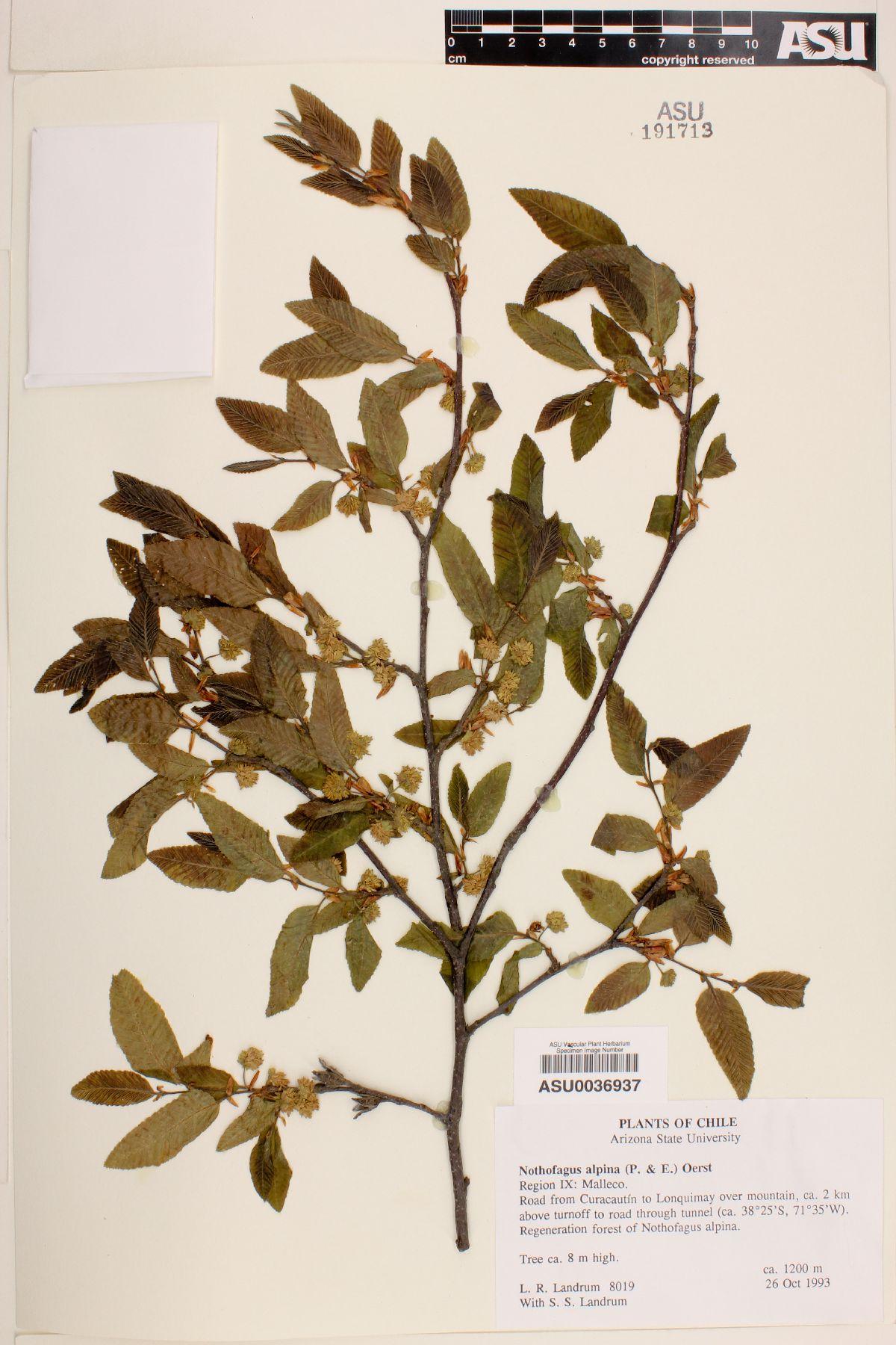 Nothofagus alpina image