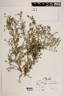 Image of Lepidium pseudodidymum