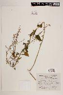 Image of Iodanthus petiolatus