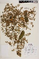Buddleja sessiliflora image