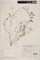 Image of Vicia epetiolaris