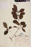Struthanthus vulgaris image