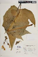 Image of Carica cauliflora
