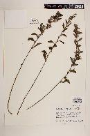 Image of Helianthemum pringlei
