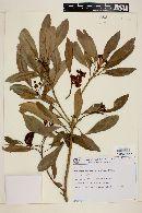 Image of Tovomitopsis paniculata