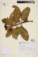 Kielmeyera petiolaris image