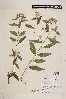 Lepidaploa arborescens image