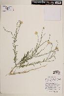 Xanthisma spinulosum var. chihuahuanum image