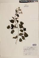 Zaluzania montagnifolia image