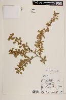 Berberis montana image
