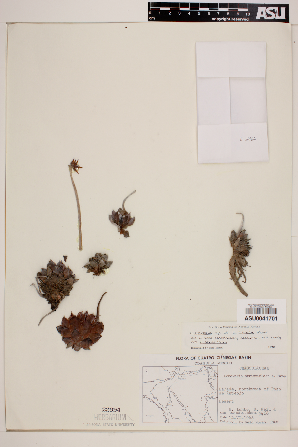 Echeveria turgida image