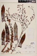 Image of Echeveria brittonii
