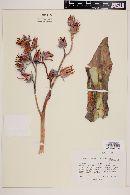 Echeveria dactylifera image