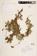 Acaena ovalifolia image