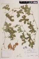 Apodanthera palmeri image