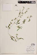 Cyclanthera minima image