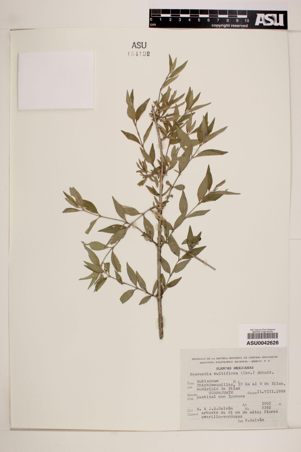 Bouvardia multiflora image