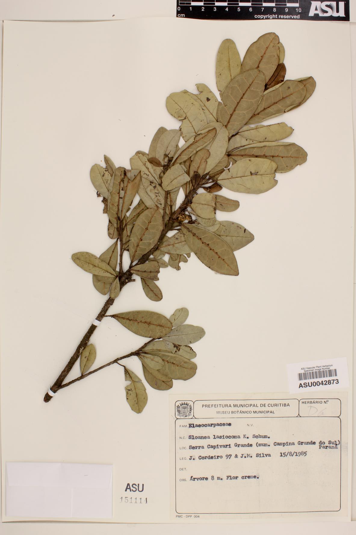 Sloanea lasiocoma image
